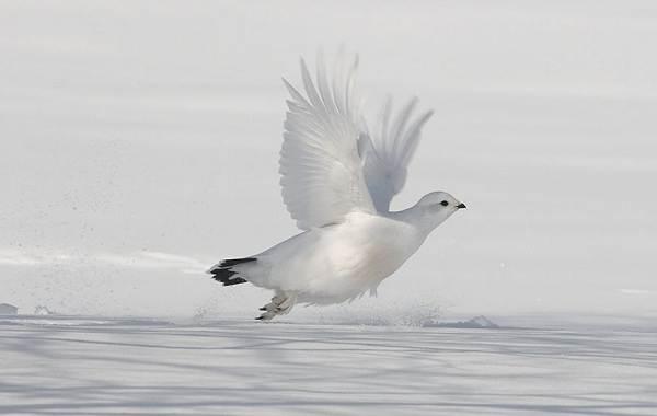 Белая-куропатка-птица-Описание-особенности-образ-жизни-и-среда-обитания-белой-куропатки-10