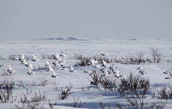 Белая-куропатка-птица-Описание-особенности-образ-жизни-и-среда-обитания-белой-куропатки-12