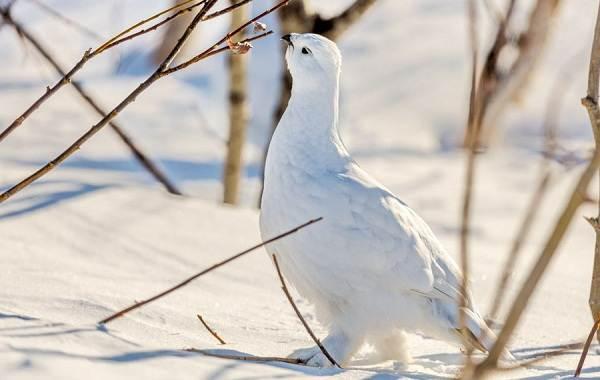 Белая-куропатка-птица-Описание-особенности-образ-жизни-и-среда-обитания-белой-куропатки-13
