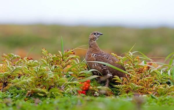 Белая-куропатка-птица-Описание-особенности-образ-жизни-и-среда-обитания-белой-куропатки-14
