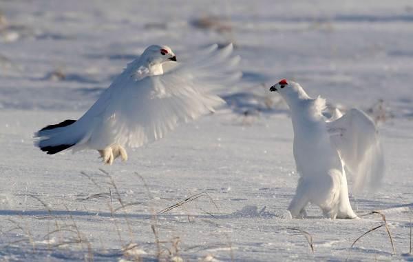Белая-куропатка-птица-Описание-особенности-образ-жизни-и-среда-обитания-белой-куропатки-15