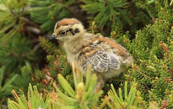 Белая-куропатка-птица-Описание-особенности-образ-жизни-и-среда-обитания-белой-куропатки-17
