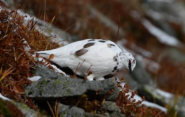 Белая-куропатка-птица-Описание-особенности-образ-жизни-и-среда-обитания-белой-куропатки-5