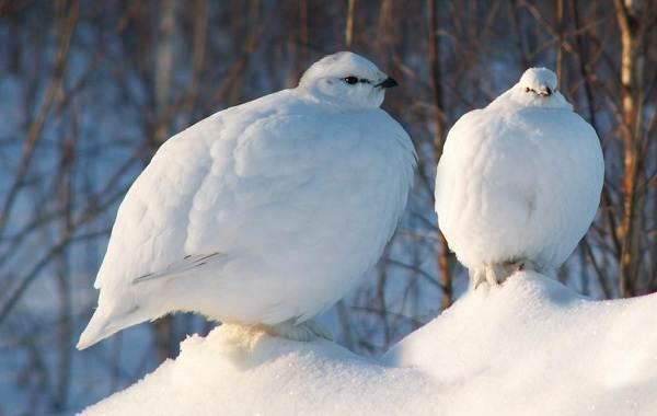 Белая-куропатка-птица-Описание-особенности-образ-жизни-и-среда-обитания-белой-куропатки-6