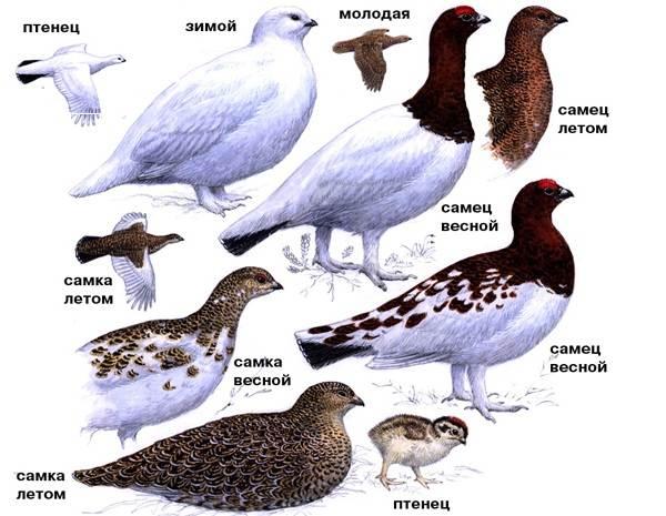 Белая-куропатка-птица-Описание-особенности-образ-жизни-и-среда-обитания-белой-куропатки-9
