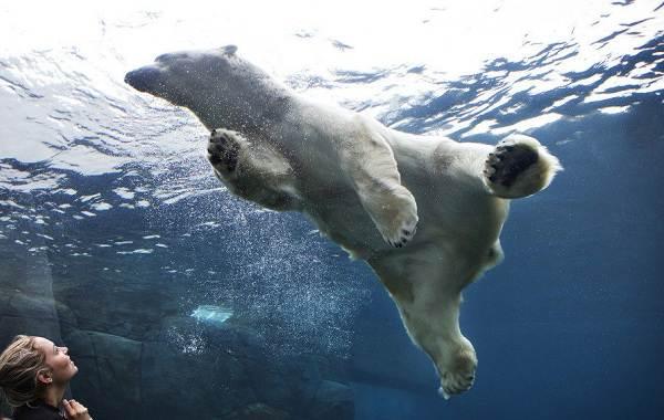 Белый-медведь-животное-Описание-особенности-образ-жизни-и-среда-обитания-медведя-1
