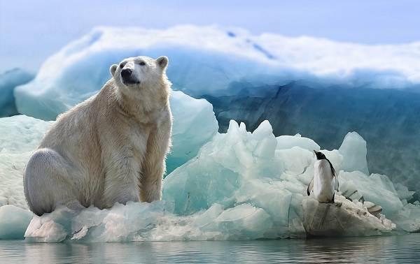 Белый-медведь-животное-Описание-особенности-образ-жизни-и-среда-обитания-медведя-10