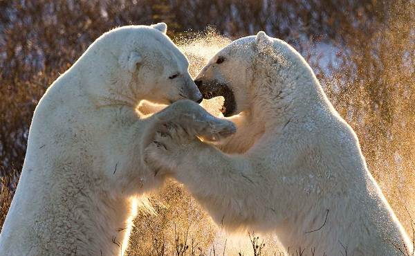 Белый-медведь-животное-Описание-особенности-образ-жизни-и-среда-обитания-медведя-12