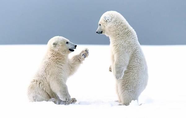 Белый-медведь-животное-Описание-особенности-образ-жизни-и-среда-обитания-медведя-13