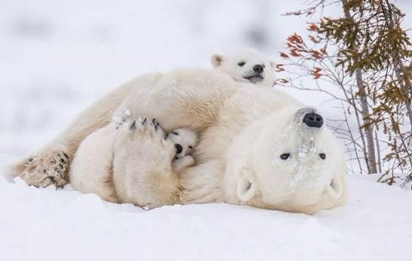 Белый-медведь-животное-Описание-особенности-образ-жизни-и-среда-обитания-медведя-14