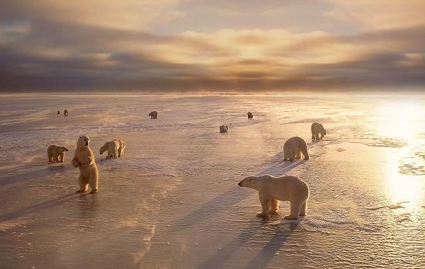 Белый-медведь-животное-Описание-особенности-образ-жизни-и-среда-обитания-медведя-16