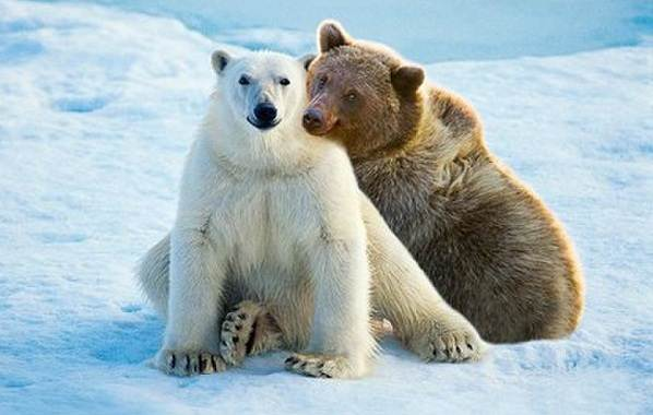 Белый-медведь-животное-Описание-особенности-образ-жизни-и-среда-обитания-медведя-17