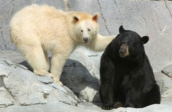 Белый-медведь-животное-Описание-особенности-образ-жизни-и-среда-обитания-медведя-18