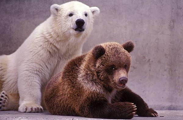 Белый-медведь-животное-Описание-особенности-образ-жизни-и-среда-обитания-медведя-19