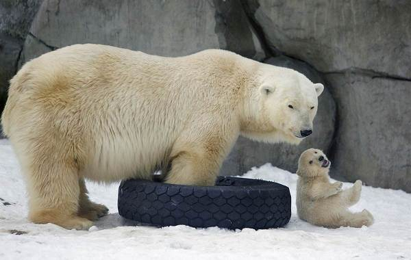 Белый-медведь-животное-Описание-особенности-образ-жизни-и-среда-обитания-медведя-2