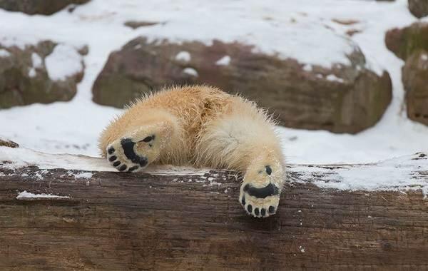 Белый-медведь-животное-Описание-особенности-образ-жизни-и-среда-обитания-медведя-3