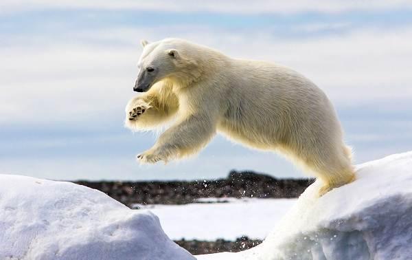 Белый-медведь-животное-Описание-особенности-образ-жизни-и-среда-обитания-медведя-4
