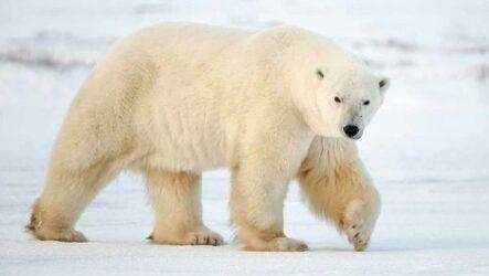 Белый медведь животное. Описание, особенности, образ жизни и среда обитания медведя