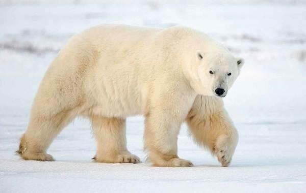 Белый-медведь-животное-Описание-особенности-образ-жизни-и-среда-обитания-медведя-5