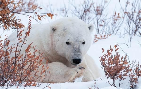 Белый-медведь-животное-Описание-особенности-образ-жизни-и-среда-обитания-медведя-6