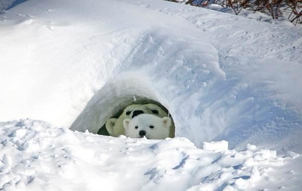 Белый-медведь-животное-Описание-особенности-образ-жизни-и-среда-обитания-медведя-7