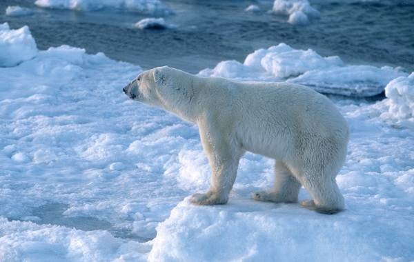 Белый-медведь-животное-Описание-особенности-образ-жизни-и-среда-обитания-медведя-8