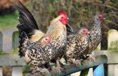 Бентамка курица. Описание, особенности, виды, уход и содержание бентамок