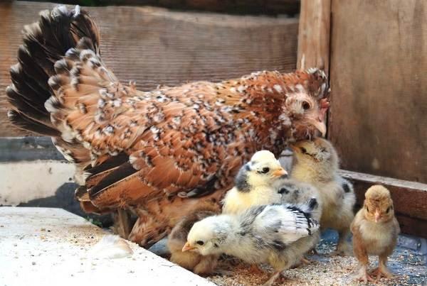 Бентамка-курица-Описание-особенности-виды-уход-и-содержание-бентамок-17