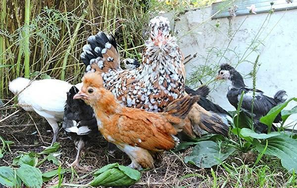 Бентамка-курица-Описание-особенности-виды-уход-и-содержание-бентамок-18