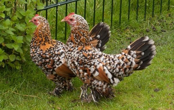Бентамка-курица-Описание-особенности-виды-уход-и-содержание-бентамок-2