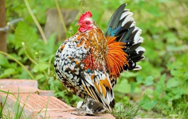 Бентамка-курица-Описание-особенности-виды-уход-и-содержание-бентамок-4