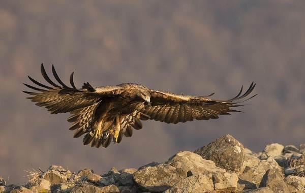 Беркут-птица-Описание-особенности-виды-образ-жизни-и-среда-обитания-беркута-1