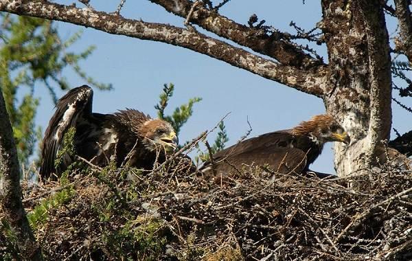 Беркут-птица-Описание-особенности-виды-образ-жизни-и-среда-обитания-беркута-10