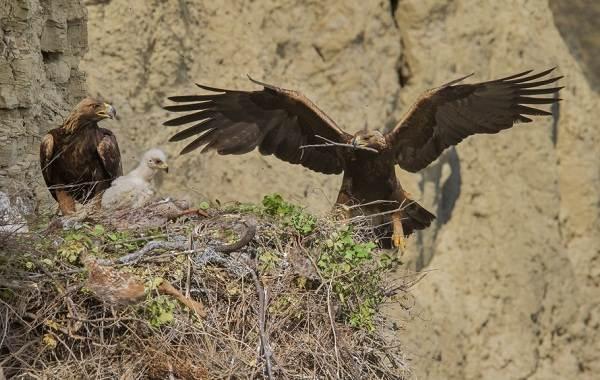 Беркут-птица-Описание-особенности-виды-образ-жизни-и-среда-обитания-беркута-11