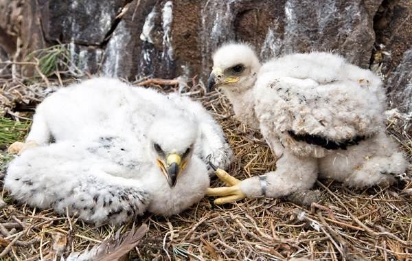 Беркут-птица-Описание-особенности-виды-образ-жизни-и-среда-обитания-беркута-12