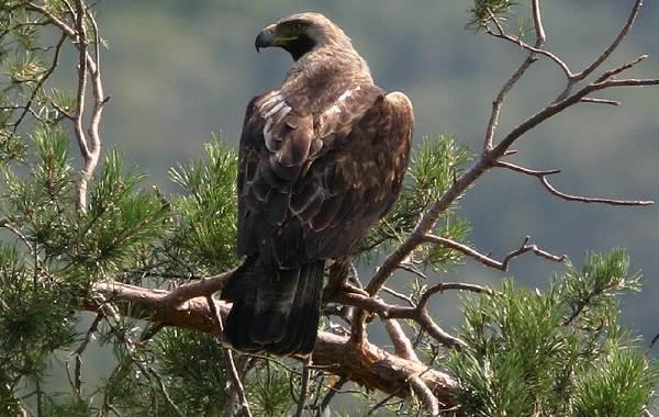 Беркут-птица-Описание-особенности-виды-образ-жизни-и-среда-обитания-беркута-13