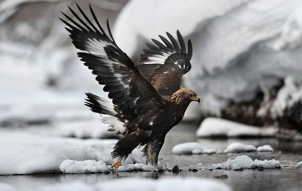 Беркут-птица-Описание-особенности-виды-образ-жизни-и-среда-обитания-беркута-14