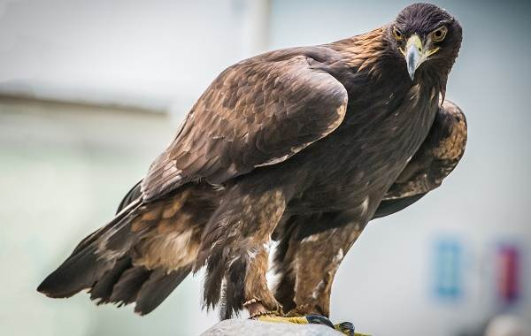 Беркут-птица-Описание-особенности-виды-образ-жизни-и-среда-обитания-беркута-2