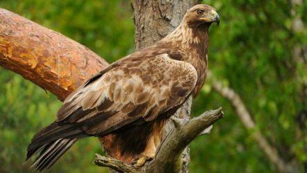 Беркут птица. Описание, особенности, виды, образ жизни и среда обитания беркута