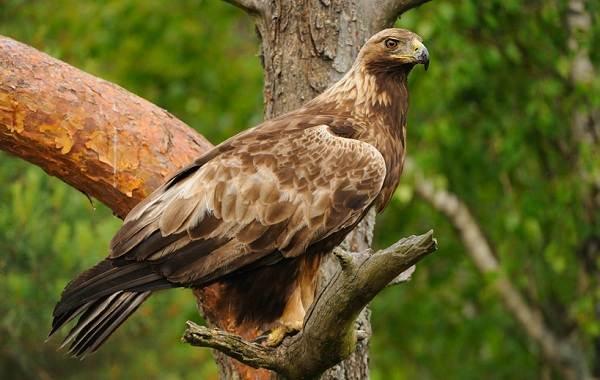 Беркут-птица-Описание-особенности-виды-образ-жизни-и-среда-обитания-беркута-3