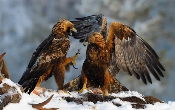 Беркут-птица-Описание-особенности-виды-образ-жизни-и-среда-обитания-беркута-5