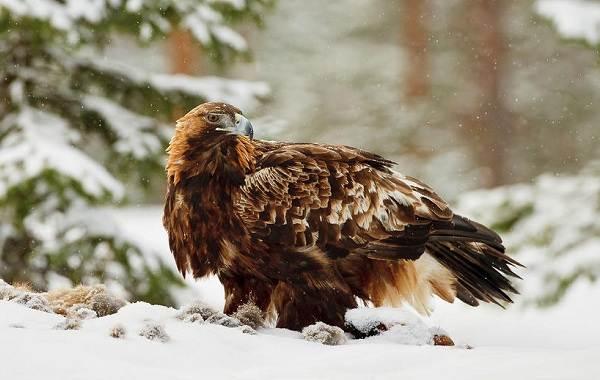 Беркут-птица-Описание-особенности-виды-образ-жизни-и-среда-обитания-беркута-6