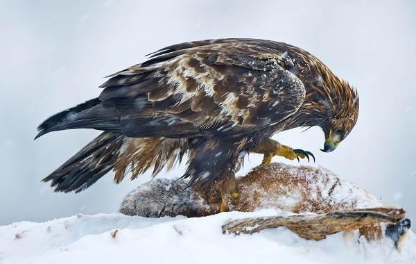 Беркут-птица-Описание-особенности-виды-образ-жизни-и-среда-обитания-беркута-7