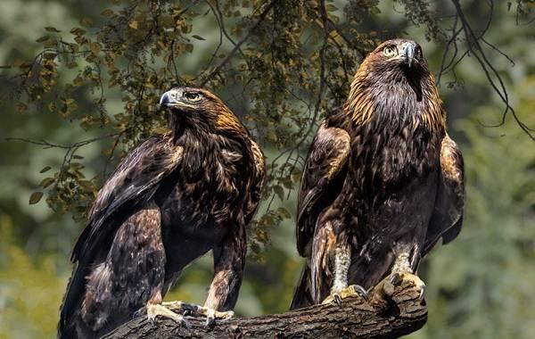Беркут-птица-Описание-особенности-виды-образ-жизни-и-среда-обитания-беркута-8