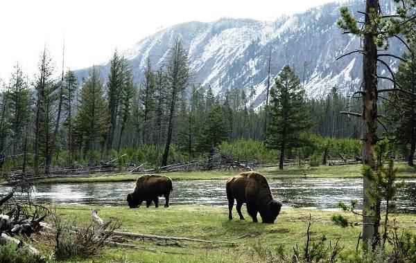 Бизон-животное-Описание-особенности-виды-образ-жизни-и-среда-обитания-бизонов-13