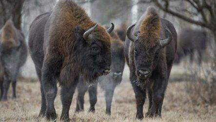 Бизон животное. Описание, особенности, виды, образ жизни и среда обитания бизонов