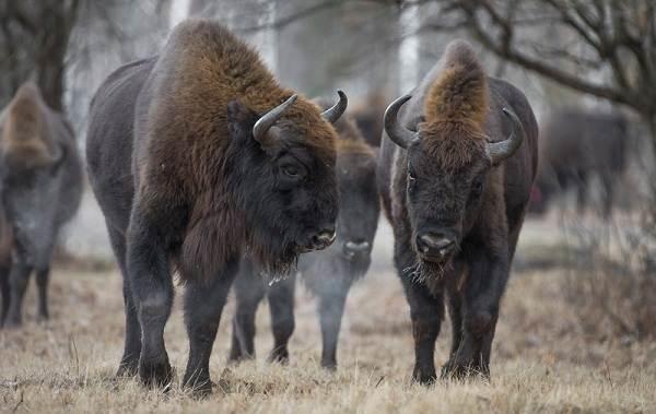 Бизон-животное-Описание-особенности-виды-образ-жизни-и-среда-обитания-бизонов-18