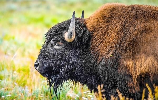 Бизон-животное-Описание-особенности-виды-образ-жизни-и-среда-обитания-бизонов-2