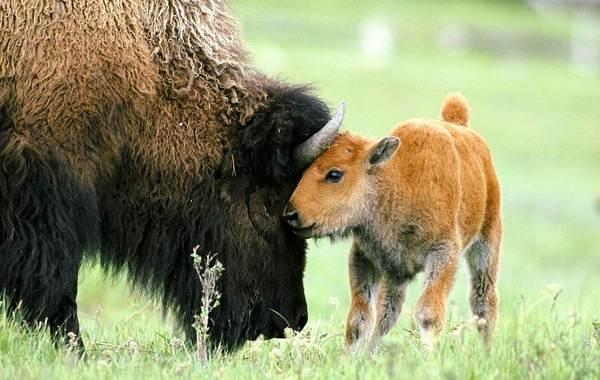 Бизон-животное-Описание-особенности-виды-образ-жизни-и-среда-обитания-бизонов-4
