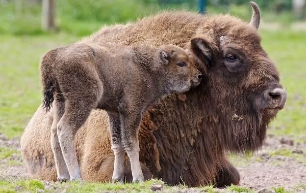 Бизон-животное-Описание-особенности-виды-образ-жизни-и-среда-обитания-бизонов-5